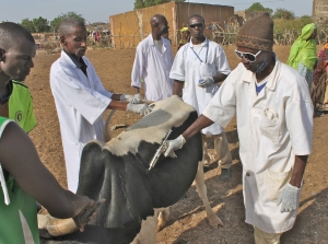 Men in Mauritania, West Africa, immunize a cow with funding assistance from Spirit of America