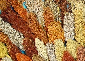 Panicle diversity sorghum millet