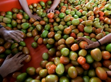 Farm workers sort tomatoes at a ranch in Mexico