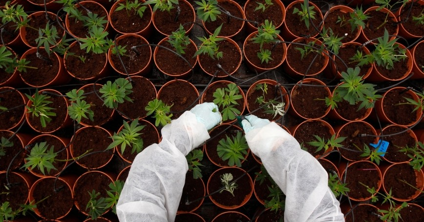 A worker tends to cannabis plants at a medical marijuana plantation near the northern Israeli city of Safed