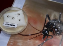 Specimens of Aedes aegypti mosquito are displayed during a campaign to raise awareness of Zika virus at the Health Ministry in Lima, Peru, January 27, 2016