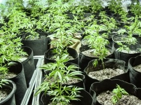 Rows of cannabis plants in a greenhouse