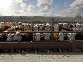 Hereford cattle eating at a trough, photo by sattriani/Fotolia