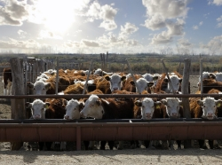 Hereford cattle eating at a trough