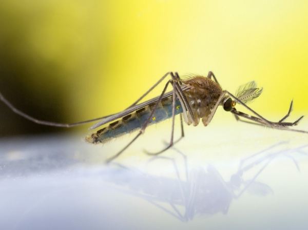 A common mosquito