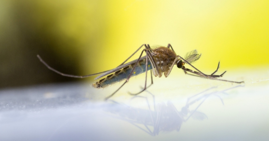 A common mosquito