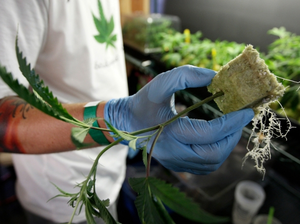 A grower holds a plant for sale at the medical marijuana farmers market at the California Heritage Market in Los Angeles, California, July 11, 2014