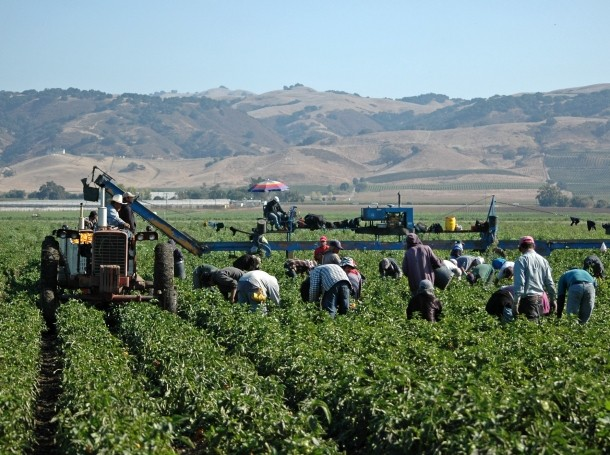 Farm workers harvesting yellow bell peppers in California