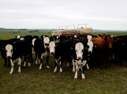 Cows line up for feeding on Salisbury Plain in Southern England, May 20, 2012
