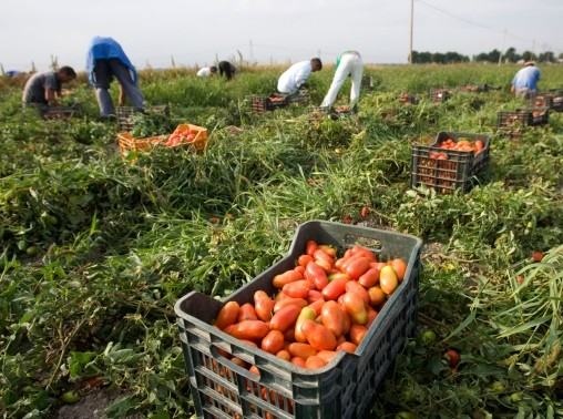 Farmworkers pick tomatoes in the countryside near the town of Foggia, southern Italy, September 24, 2009