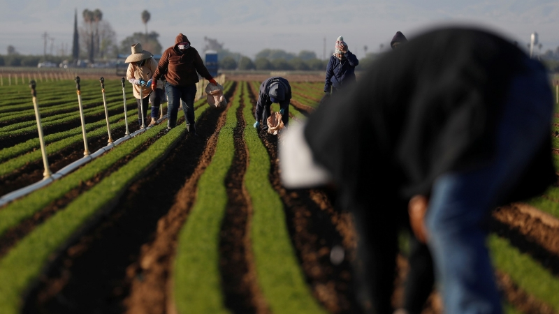 Agricultural workers clean carrot crops of weeds amid an outbreak of COVID-19 at a farm near Arvin, California, April 3, 2020, photo by Shannon Stapleton/Reuters