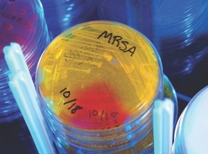 A Petri dish culture plate demonstrating the growth of methicillin-resistant Staphylococcus aureus (MRSA) bacteria.