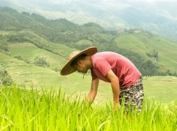 A farmer in China inspects his rice
