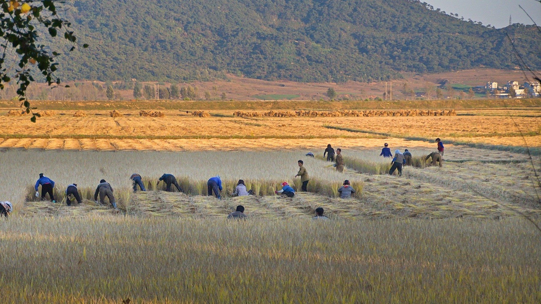 Workers in the North Korean countryside harvest hay by hand