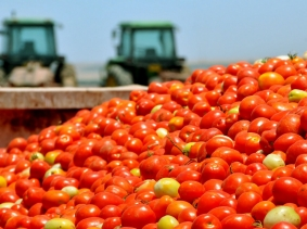 Large container of ripe tomatoes in front of tractors