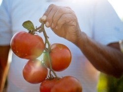 Farmer holding a handful of fresh vine ripened tomatoes