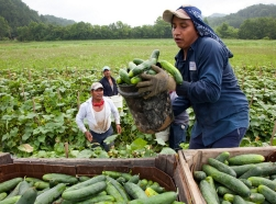 Migrant workers load cucumbers into a truck in Blackwater, Virginia