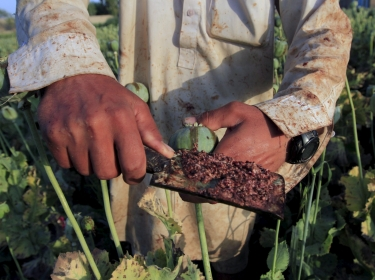 Raw opium from a poppy head is seen at a farmer's field on the outskirts of Jalalabad, Afghanistan, April 28, 2015, photo by Parwiz/Reuters