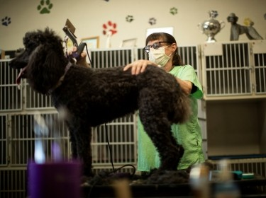 Lisa Rowland, owner of Dog's Best Friend, trims the coat of a poodle as dog grooming services gradually reopen during the COVID-19 outbreak, in Pasadena, California, May 21, 2020, photo by Mario Anzuoni/Reuters