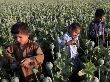 Afghan children gather raw opium in a poppy field on the outskirts of Jalalabad, April 28, 2015