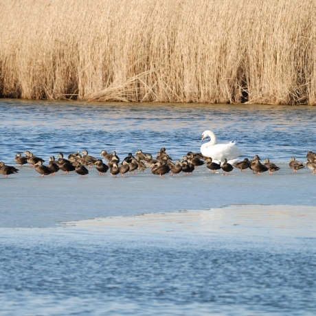 Ducklings and a swan gather on a sandbank in the Jamaica Bay neighborhood of New York City