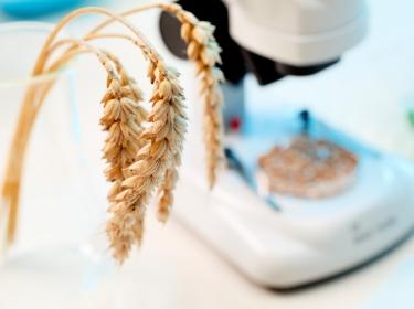 Genetically modified organism: wheat under microscope