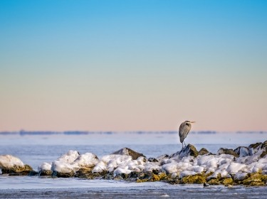 Great Blue Heron on a frozen jetty on the Chesapeake Bay, photo by flownaksala / Getty Images